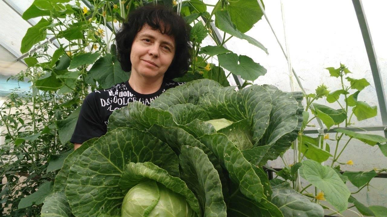 Подкормка капусты в открытом грунте: когда и какие удобрения использовать