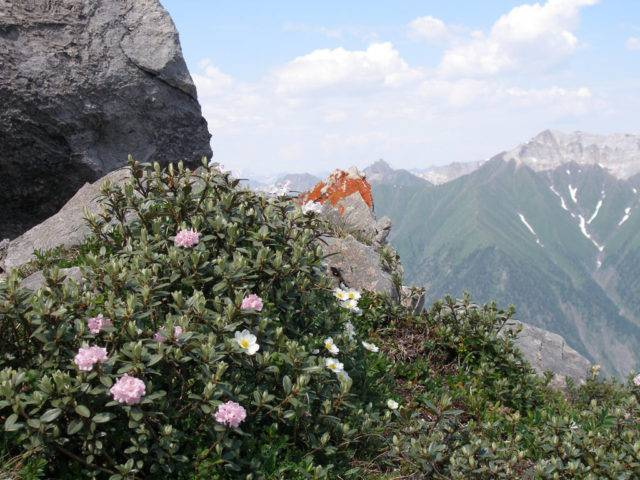Рододендрон: посадка и уход в открытом грунте, виды и сорта