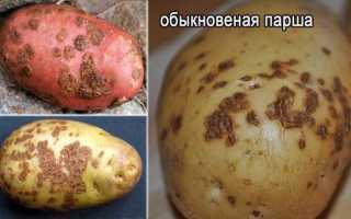 Парша на картофеле: виды, описание, фото, меры борьбы