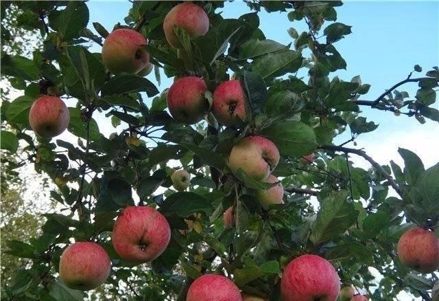 Сорт яблок штрейфлинг: описание, фото, отзывы садоводов