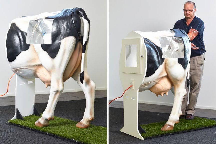 Осеменение коров: выбор времени и проверка готовности животного, методики