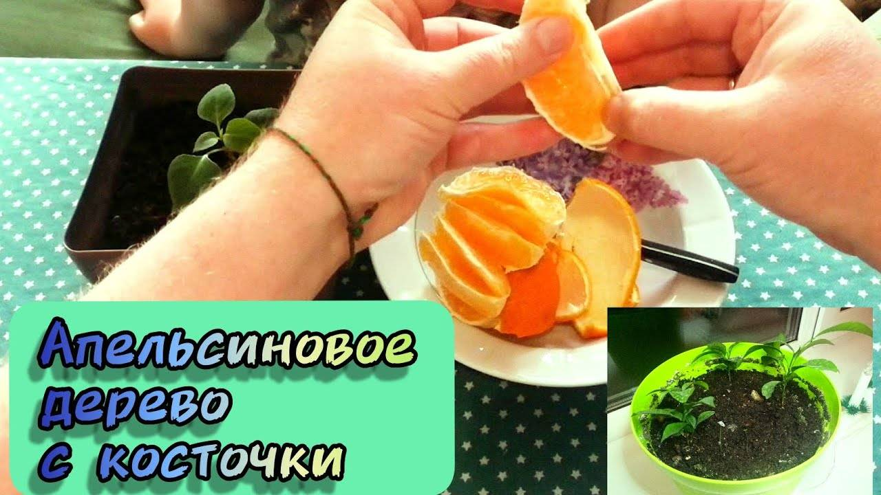 Как вырастить апельсин из косточки в домашних условиях, пошаговая инструкция