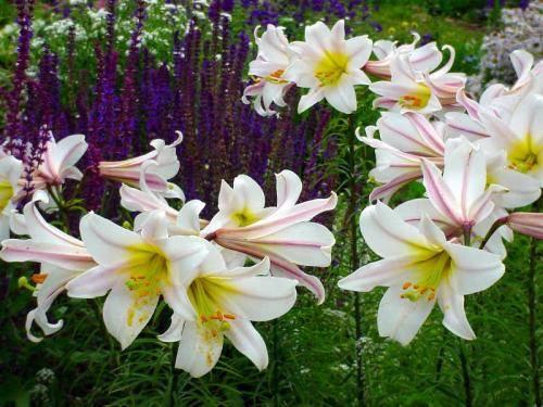 Видовые лилии selo.guru — интернет портал о сельском хозяйстве