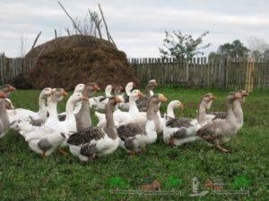Некоторые интересные породы диких и домашних гусей