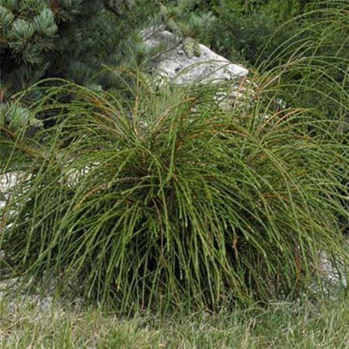 Туя — особенности выращивания и посадка в грунт