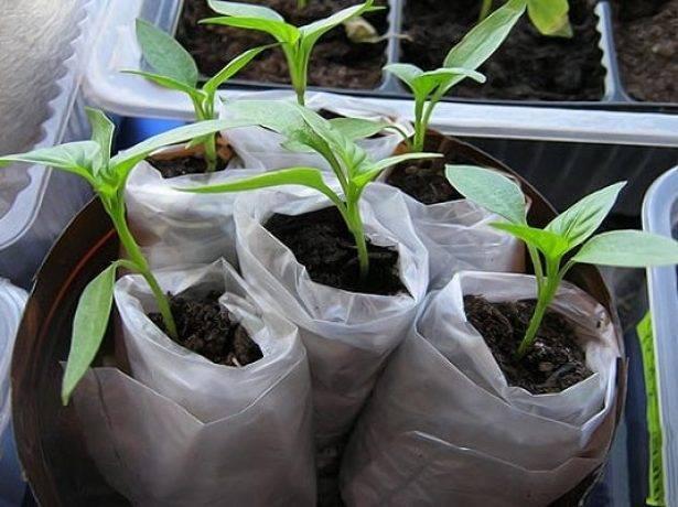 Выращивание помидор в ведрах, по методу кизимы и под укрывным материалом