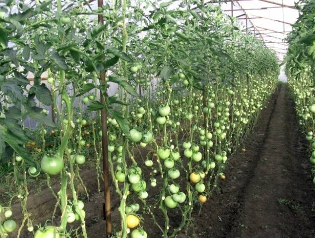 Формирование томатов в теплице и открытом грунте: секреты повышения урожайности и этапы формирования помидоров (115 фото)