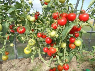 Томат благовест: описание и характеристика сорта, особенности выращивания помидоров в открытом грунте и в теплице, отзывы, фото