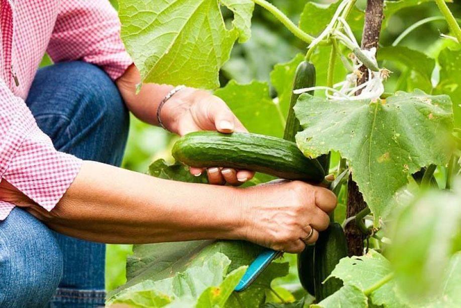Подкормка огурцов от а до я - в теплице и открытом грунте, удобрение рассады огурцов - почва.нет