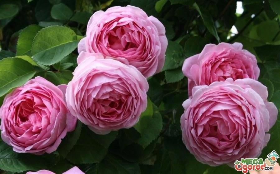 Картинка красивая роза, фото сортов самых красивых кустовых пионовидных роз с описанием. | фото цветов