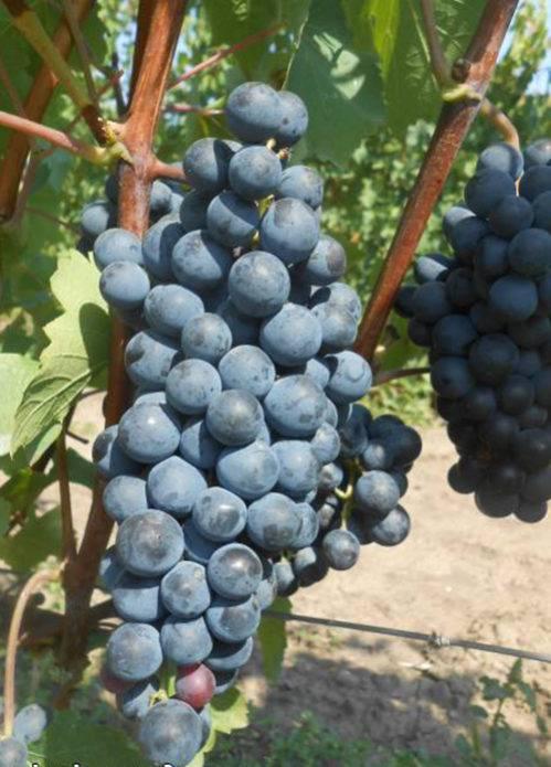 """Виноград """"ливадийский черный"""": характеристики сорта, его особенности, внешний вид и фото selo.guru — интернет портал о сельском хозяйстве"""