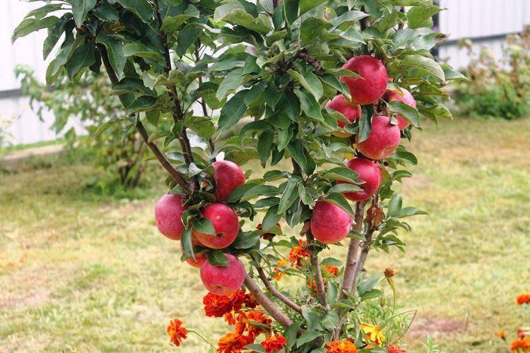 Яблоня: посадка и уход в открытом грунте | фото