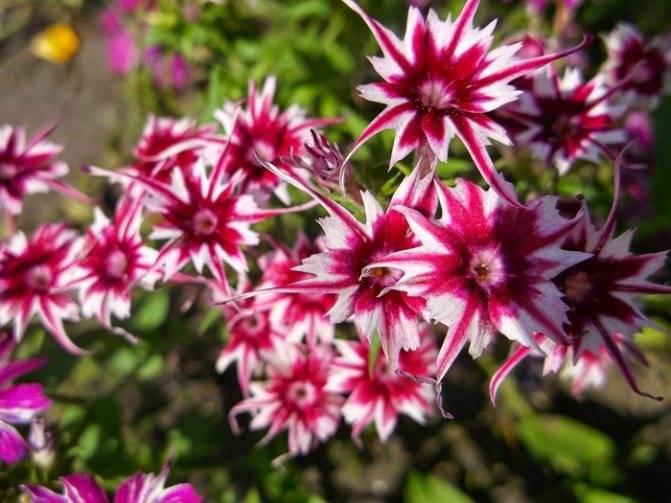 Флокс друммонда: выращивание из семян, как и когда сажать однолетние растения