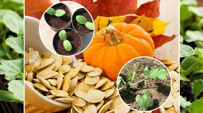 Как отличить кабачок от тыквы: по листьям, по плодам