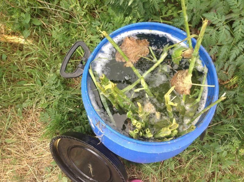 Удобрение из крапивы: как сделать настой, каким растениям полезно?