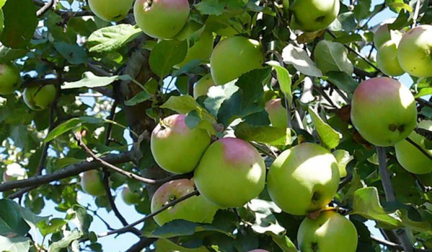 Описание и характеристики яблони сорта башкирская красавица, преимущества и недостатки - всё про сады