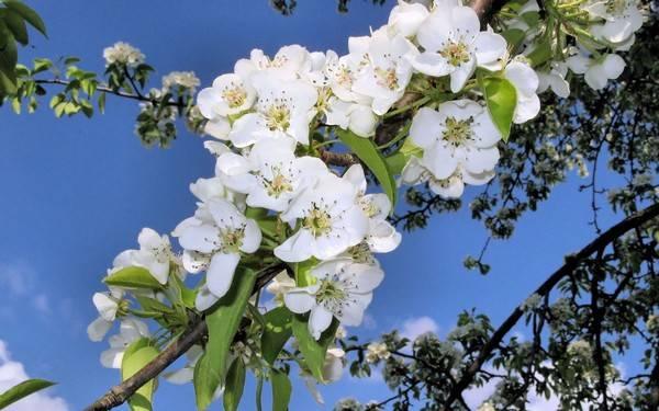 Рекомендации по подкормке молодых саженцев яблони весной и летом