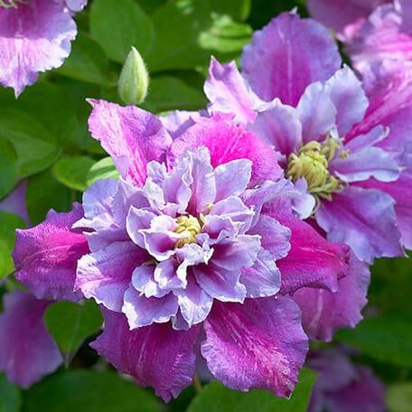 Описание цветка «клематис пиилу (piilu)»
