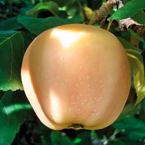 Скороплодная яблоня жемчужное