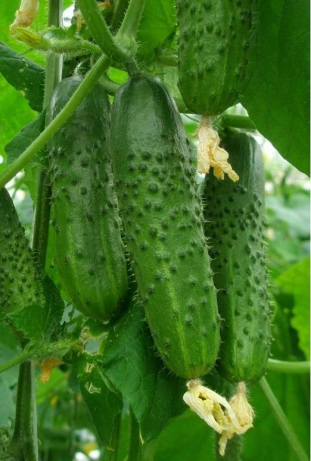 Огурцы «амур f1»: агротехника выращивания, описание и фото