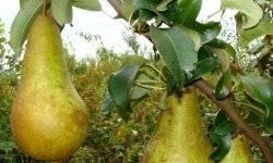 Груша бессемянка — старинный скороплодный сорт