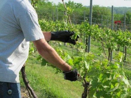 Виноград низина: описание сорта, фото, отзывы, урожайность