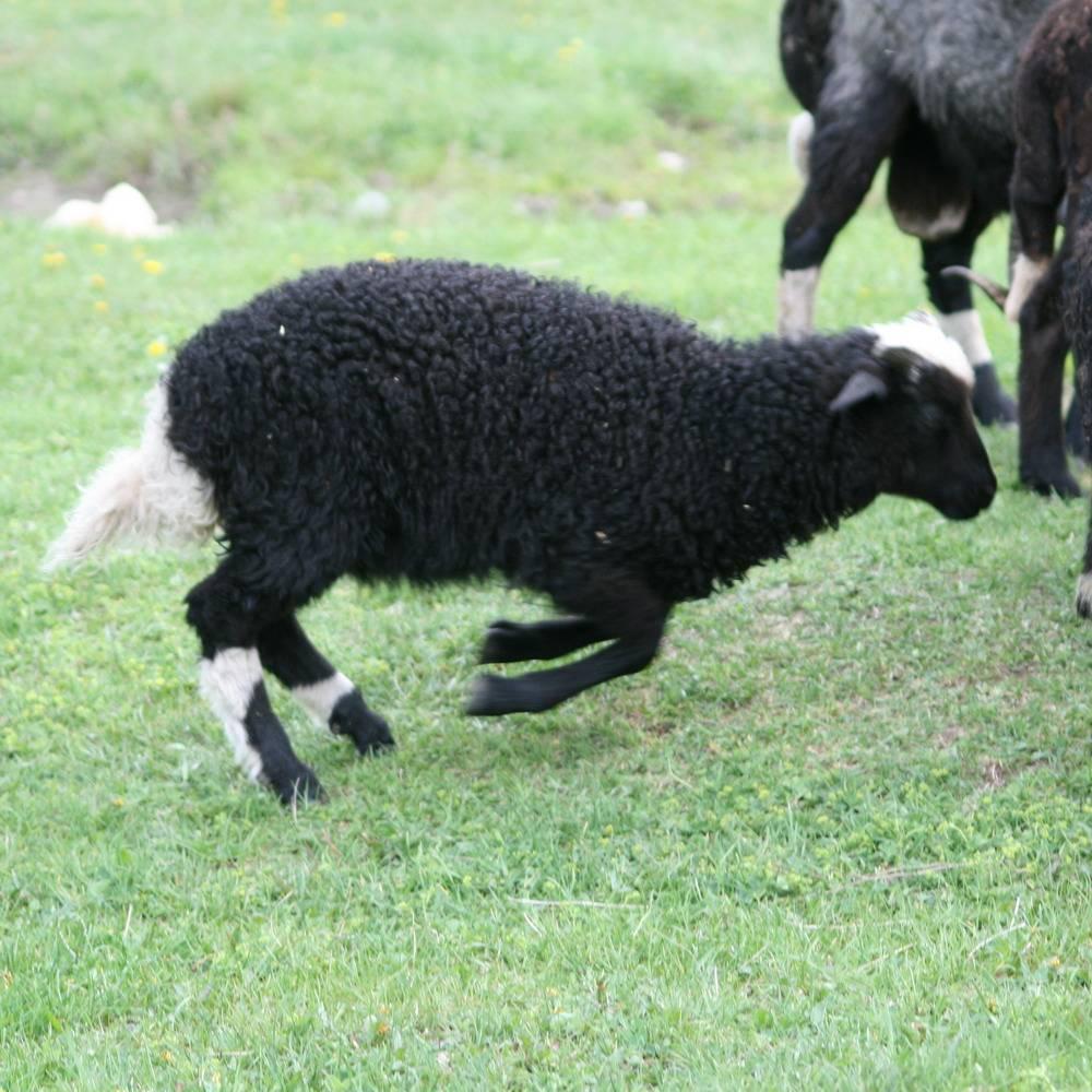 Карачаевская порода овец: описание, характеристики и фото  — vkmp