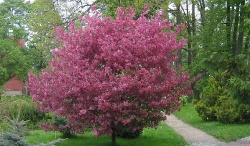 Яблоня недзвецкого – один из самых красивых сортов