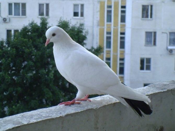 Гуманные способы, которые помогут избавиться от такой птицы, как голубь