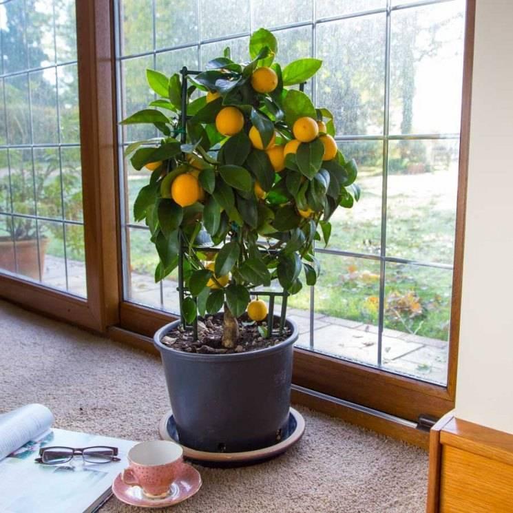 Как вырастить мандарин из косточки в домашних условиях: пошаговая инструкция как правильно посадить и ухаживать за мандариновым деревцем (видео + 115 фото)