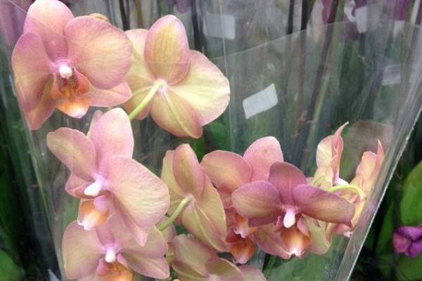 Орхидея  легато — розовая бабочка