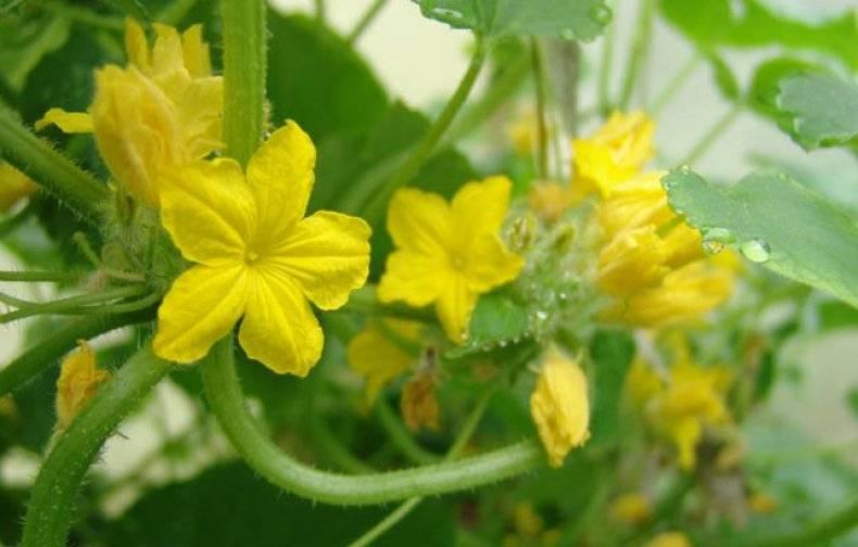 Почему на огурцах много пустоцветов: что делать, как бороться и увеличить количество завязей (женских цветов)