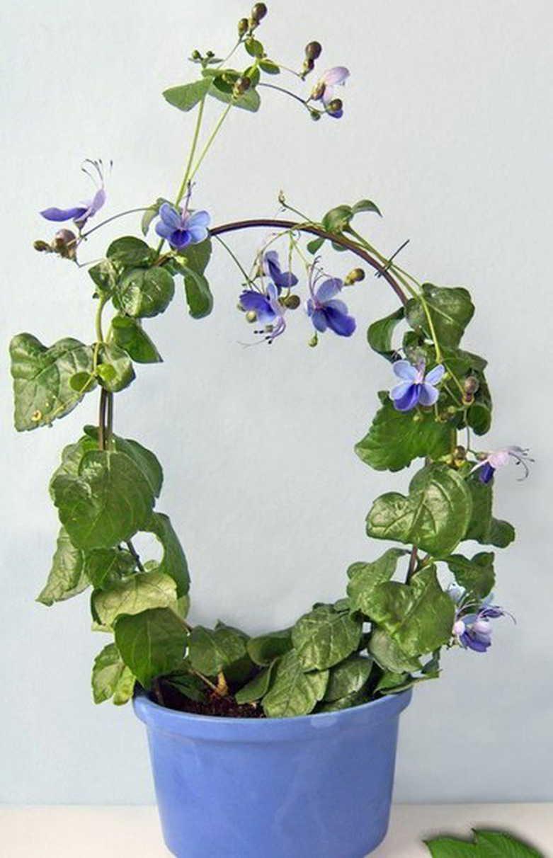цветок клеродендрум, уход, обрезка, виды и фото