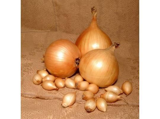Лук шетана: описание и характеристика сорта, выращивание и уход с фото