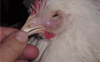 Куры чихают и хрипят - чем лечить и что делать, народные средства в домашних условиях, почему слизь из клюва