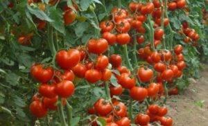 Выращивание и уход за томатом джина