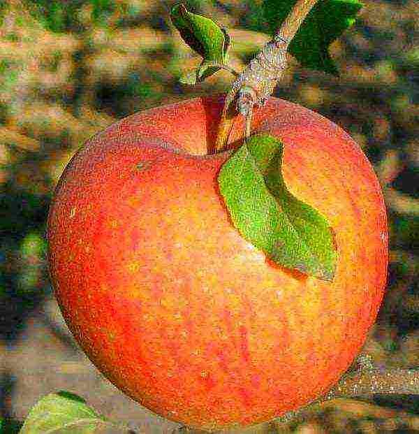 Когда снимать яблоки для хранения на зиму: сроки, когда собирать, как хранить