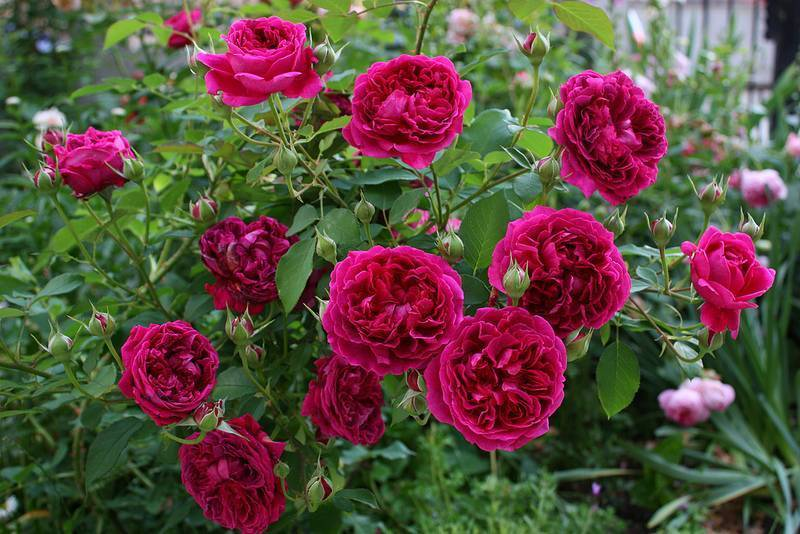 Как укрыть розу на зиму: когда и чем укрывать