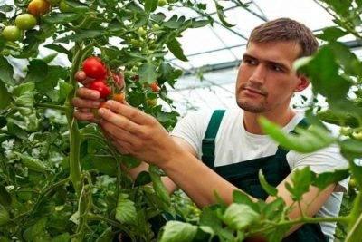 Уход за рассадой томатов после высадки в открытый грунт в 2020 году
