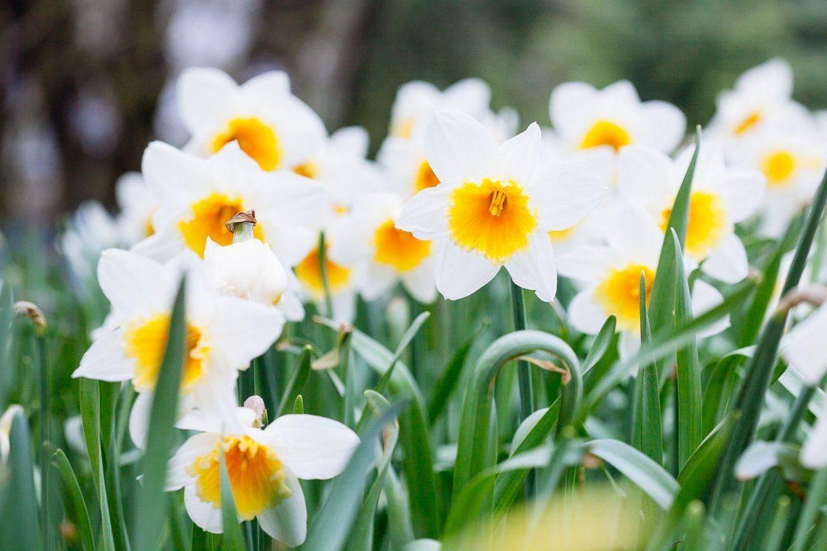 Нарциссы почему не цветут.
