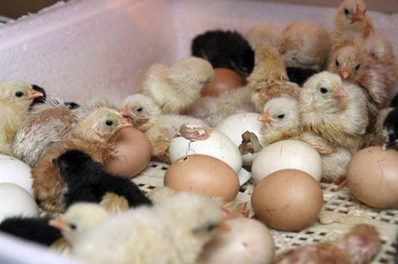 Как закладывать и отбирать яйца