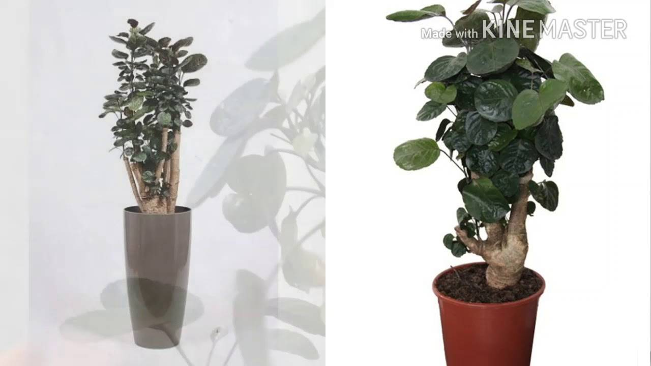Рекомендации по уходу и выращиванию за цветком «полисциас» в домашних условиях