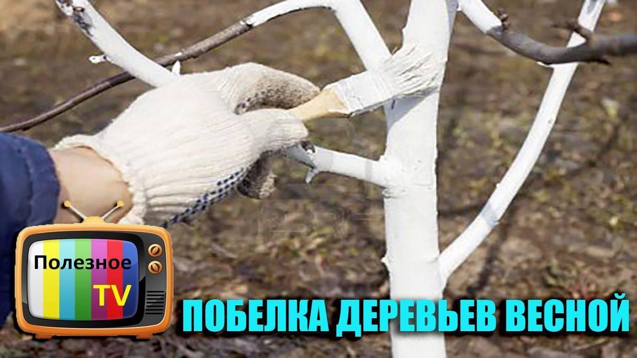 ᐉ побелка деревьев весной: когда, зачем и чем белить плодовые деревья - roza-zanoza.ru
