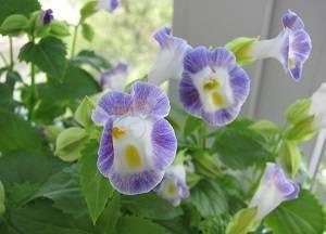 Торения - что это за цветы? посадка и уход