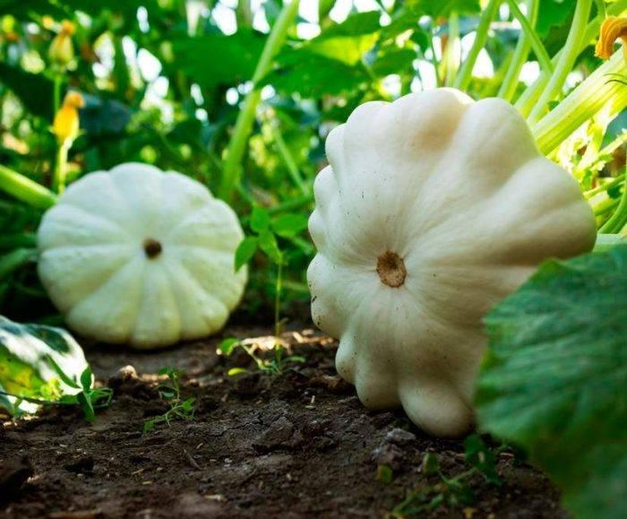 Выращивание патиссонов, посадка и уход за ними, как выращивать в открытом грунте, популярные сорта, фото и отзывы