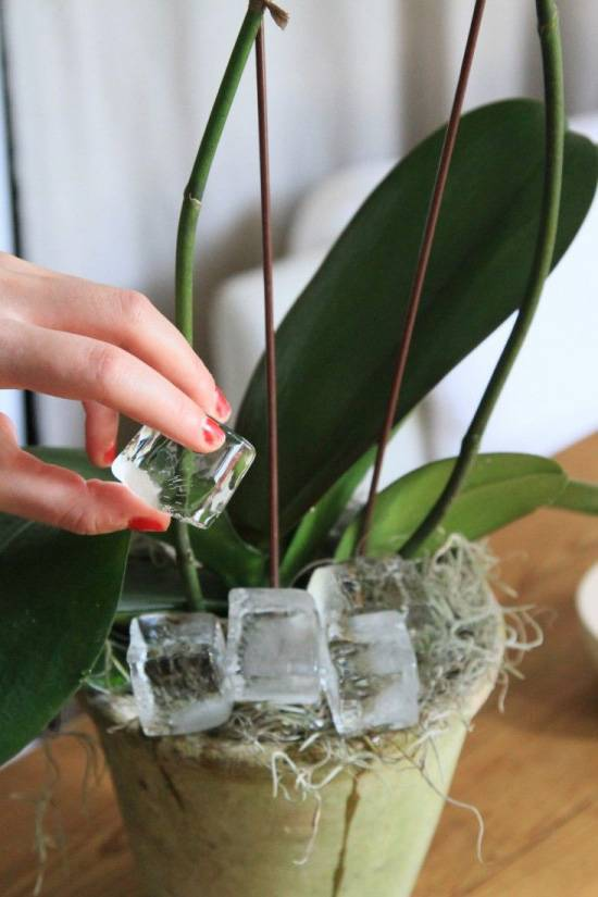 Нужно ли пересаживать орхидею после покупки в магазине в горшке и можно ли это делать во время цветения?