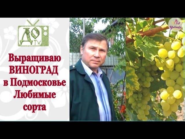 Виноград в подмосковье. выращивание без теплицы