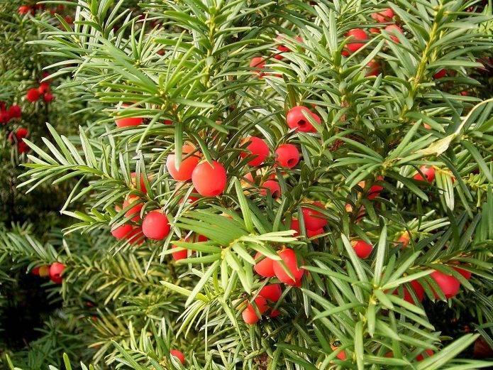 Дерево «Тис ягодный»: фото, описание, посадка, уход, выращивание