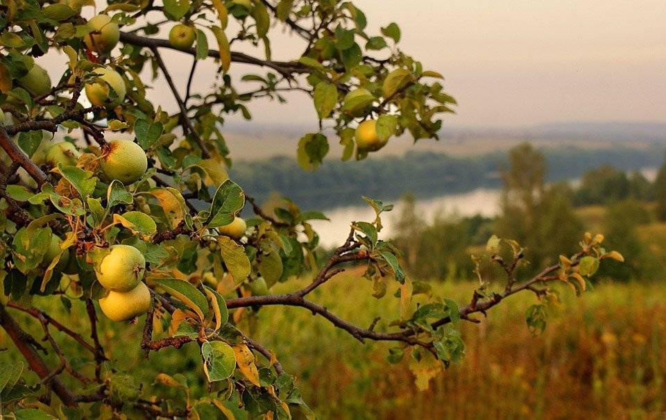 Почему яблоня не цветет, причины и лечение