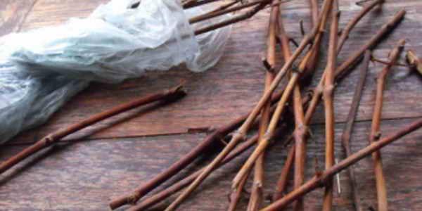 Заготовка черенков винограда осенью и хранение: видео и фото